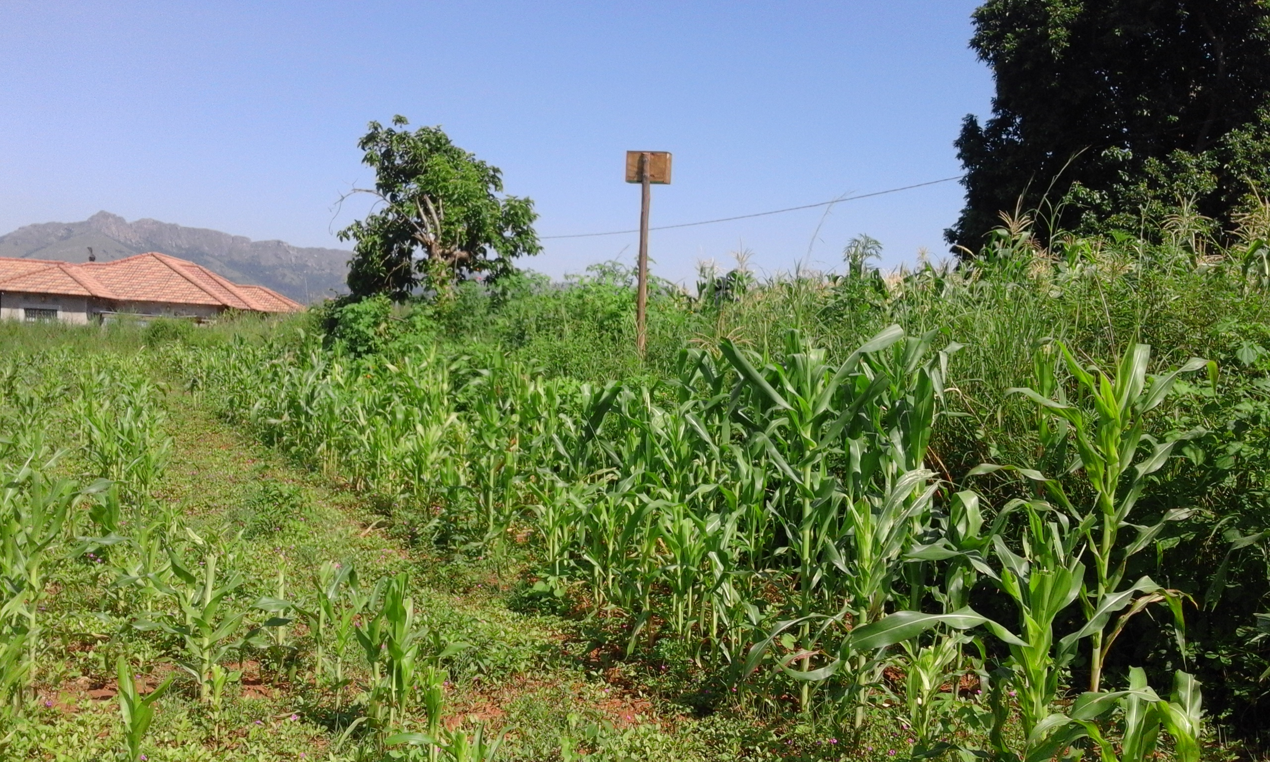 Maize field with owl box